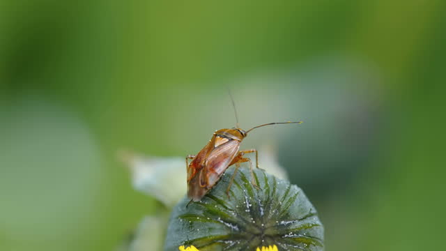 The brown beetle insect on top of the flower