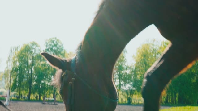 the brown horse in the bridle is eating the grass near the training area, the horse's muzzle is close up - cavallo purosangue video stock e b–roll