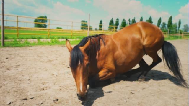 stockvideo's en b-roll-footage met het bruine paard gaat liggen op het droge in de paddock boerderij - vachtpatroon
