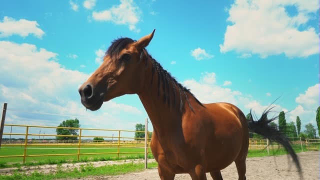 the brown horse lies on the ground then rises. a horse in the paddock in the farm - cavallo purosangue video stock e b–roll