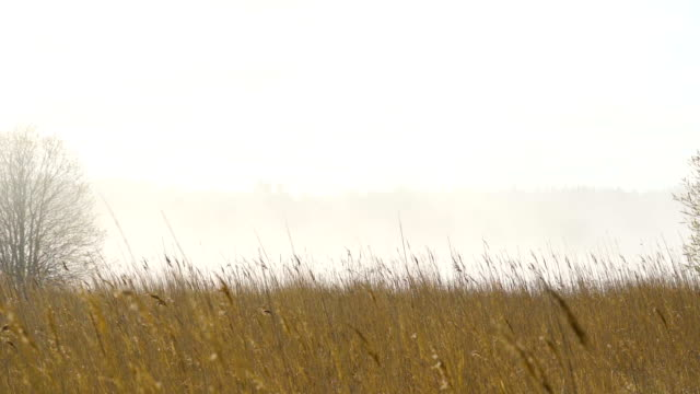 the brown tall reed grasses on the side of the river - orticoltura video stock e b–roll