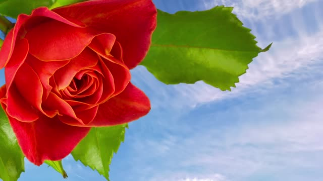 The Bud of a rose flower blooming on a blue sky background. Time lapse.