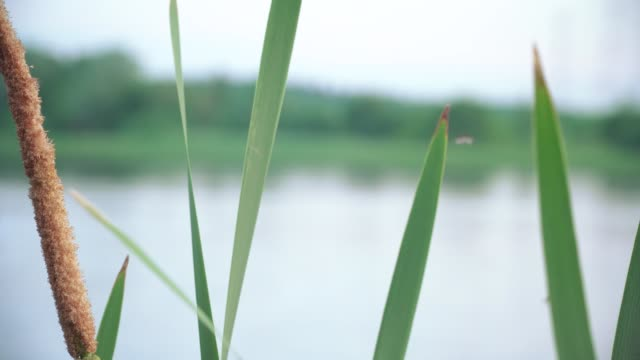The bulrushes and flying midges