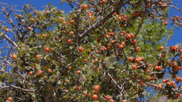 The Bush of hawthorn. Crimea. Zelenogorie video