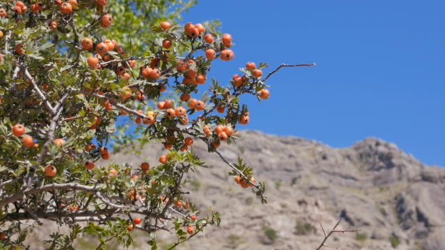 The Bush of hawthorn mountains in the background. Crimea. Zelenogorie video