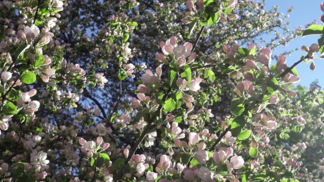 The camera moves along the apple-tree blossoming white flowers in sunny spring day
