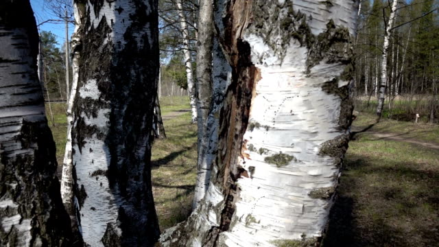 The camera moves through white trunks of birches in the wood video