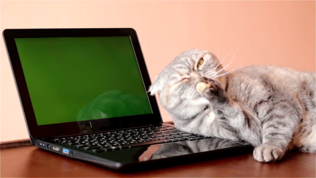 The cat lies near the laptop and washes his face. video