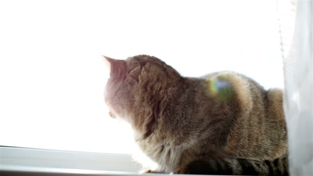 The cat sitting on a windowsill behind curtain. Sunlight falls on the beautiful cat fur. Sunbeams floating on the frame. tabby cat stock videos & royalty-free footage