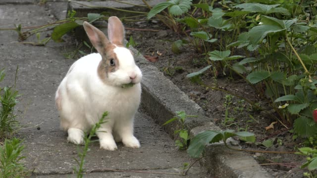 The charming white-brown bunny.