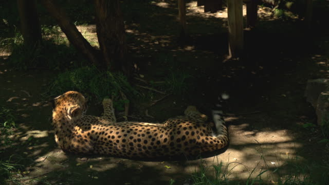 The cheetah relaxes in the shade