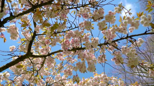 cherry blossom träd i keukenhof - keukenhof bildbanksvideor och videomaterial från bakom kulisserna