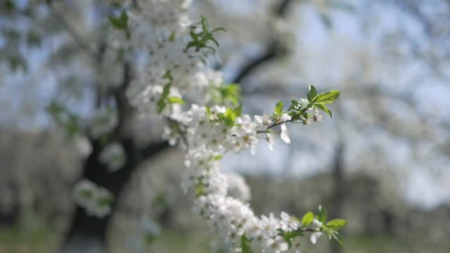 The cherry tree blossomed