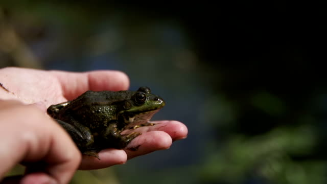 The Child Playing with Green Frog in his Hand. Slow Motion video