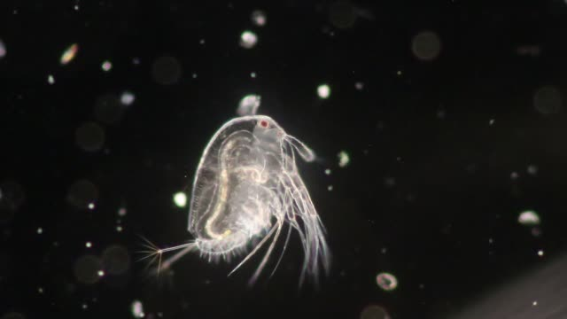 vídeos de stock e filmes b-roll de the cladocera are an order of small crustaceans commonly called water fleas on the slide under microscope. - evolução
