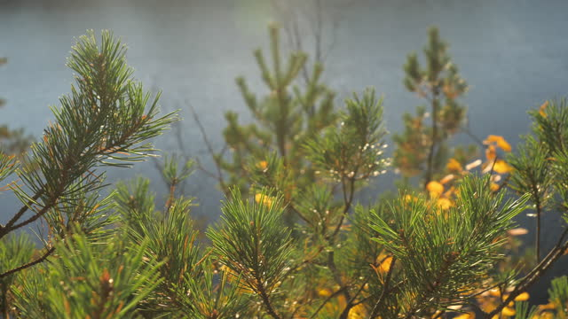 The closer look of the green pine tree leaves.geology shot