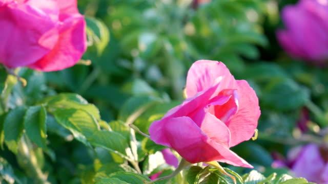 犬のバラの植物の赤い花の詳しい外観 - イヌバラ点の映像素材/bロール