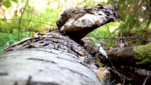 The closer look of the white Piptoporus betulinus or the birch polypore