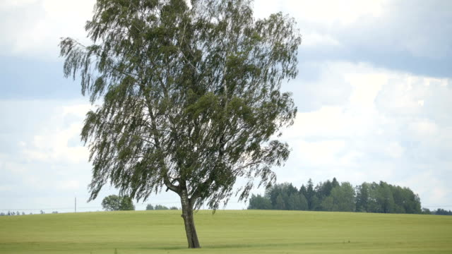 The closer view of the big birch tree video