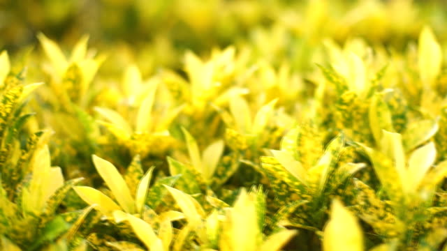 The Colorful Croton Leaves for Background video