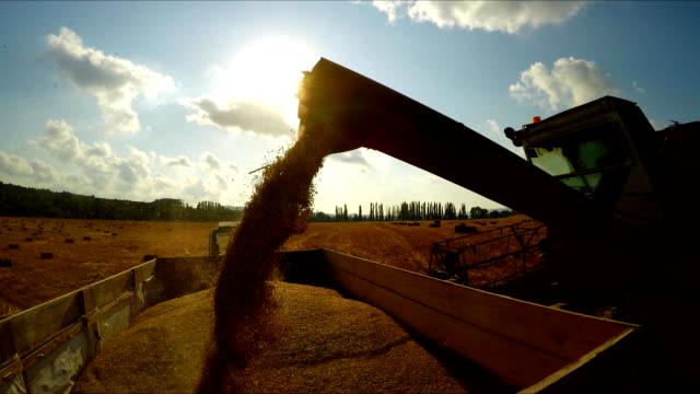 The combine pours grain into the trailer on the tractor The combine pours grain into a trailer on a tractor, in the background a blue sky with clouds, a shot against the sun, a wide angle monoculture stock videos & royalty-free footage