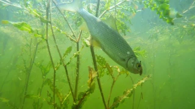 die gemeinsame roach an einem haken. unterwasser video vom angeln im süßwasser-see. - angelhaken stock-videos und b-roll-filmmaterial