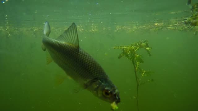 the common roach on a hook. underwater video from fishing in fresh water lake. - siluriformes video stock e b–roll
