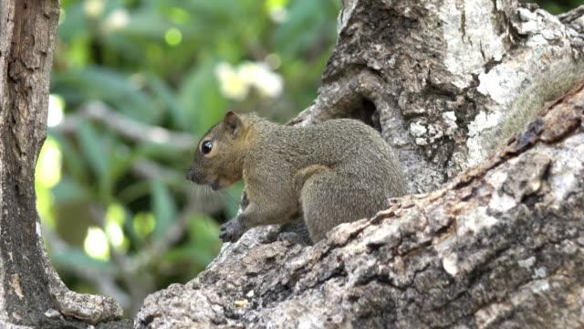 The common treeshrew eats nuts sitting on a tree