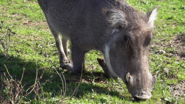 The common warthog (Phacochoerus africanus) kneels and eats grass on the ground
