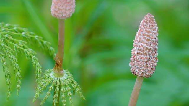 vidéos et rushes de le cône comme petite fleur brune de la plante de prêle - tige d'une plante