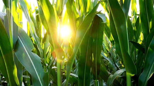 vidéos et rushes de le plant de maïs dans le champ - maïs culture