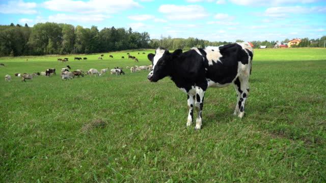 vidéos et rushes de la vache mastique, posant et en méditant sur la pelouse - vache laitière