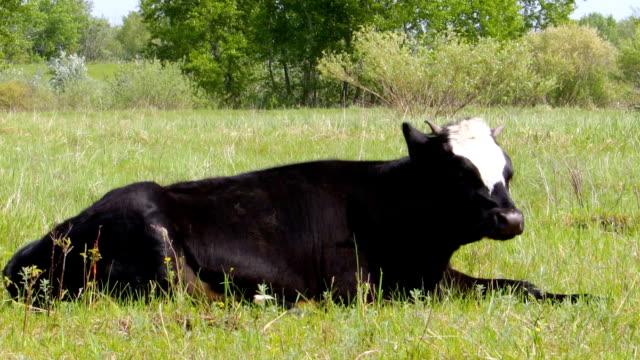 緑の草の上牛嘘 ビデオ