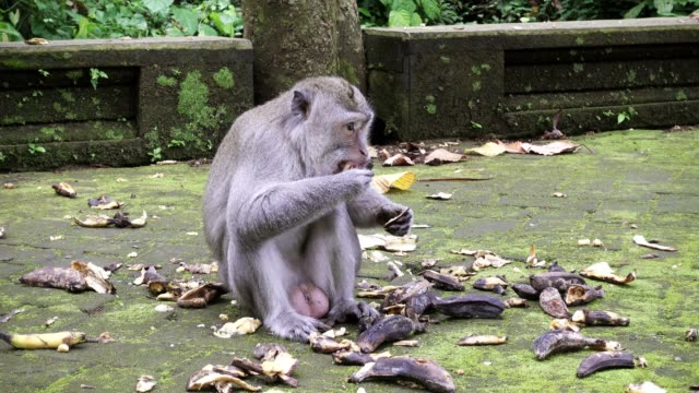 The crab-eating macaque ,Macaca fascicularis, also known as the long-tailed macaque,Sangeh Monkey Forest Bali video