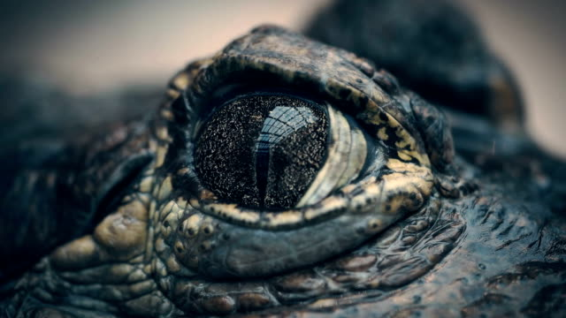 the crocodile closes and opens the eyes closeup - веко стоковые видео и кадры b-roll