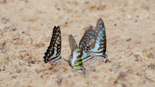 The crowd of different types of colorful butterfly eat food in soil and some fly around them
