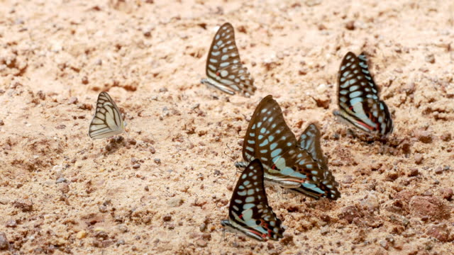 the crowd of different types of colorful butterfly eat food in soil and some fly around them - крыло животного стоковые видео и кадры b-roll