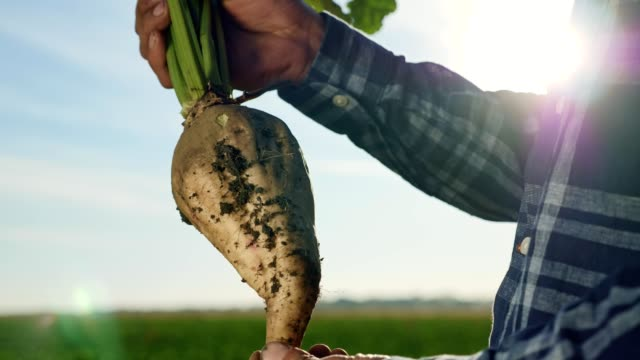 The cultivation of sugar beet The cultivation of sugar beet. A man agronomist holding a root vegetable of sugar on the field tuber stock videos & royalty-free footage