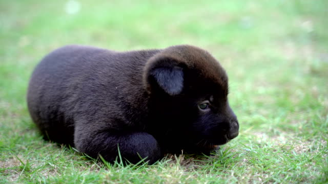 The cute black puppy is lying on the green grass. The cute black puppy is lying on the green grass. hound stock videos & royalty-free footage