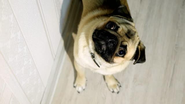 かわいいパグ見えるカメラに興味があります。 - 愛玩犬点の映像素材/bロール