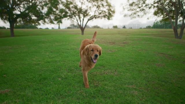 The cutest golden retriever loves exploring the dog park video