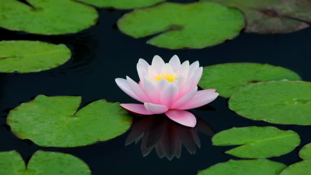 The Dance Of The Lotus Flower Stock Video More Clips Of Dancing