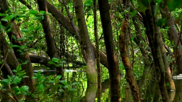 The dense forest was flooded for extended periods. The wind blows gently. video