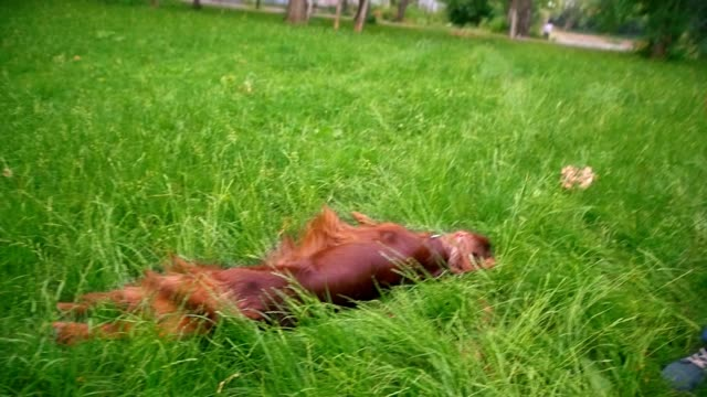 The dog irish setter lying in the grass at park - slow motion The dog irish setter lying in the grass at park - slow motion shot irish setter stock videos & royalty-free footage