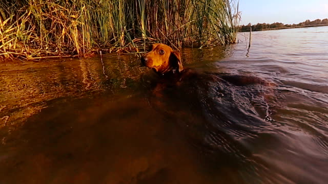 The dog is swimming. Dachshund dog swims in the lake video