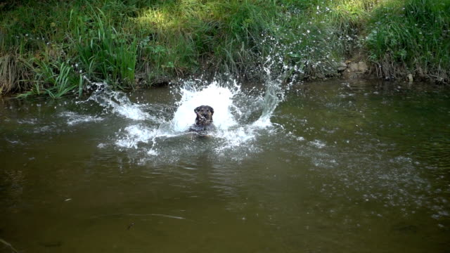 The dog jumps to the water. Swimming in slow motion. video