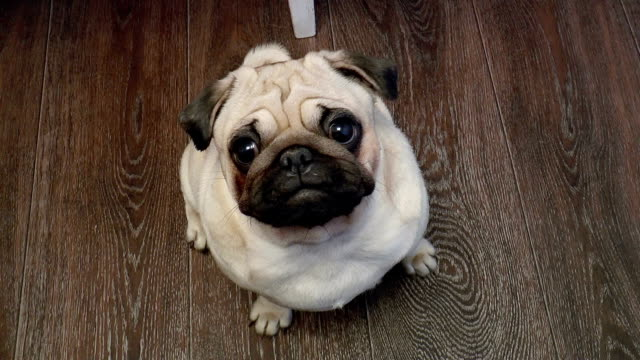 The dog Pug looking into camera The video shows dog-pug looking into camera large build stock videos & royalty-free footage