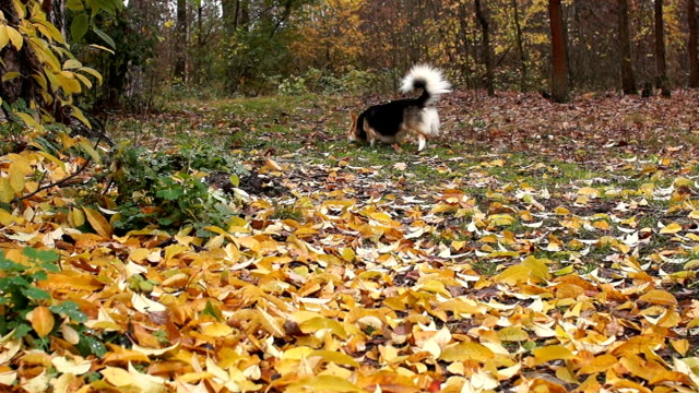 The dog runs around the autumn forest sniffing the leaves, looking for food. video