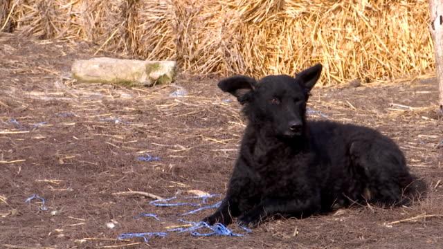 köpek kırsal bir avluda oturur - sale stok videoları ve detay görüntü çekimi