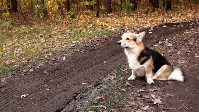The dog sits on the road and sniffs the air. Autumn in the forest, season of bad roads. video